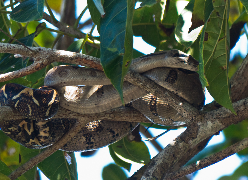 Boa constrictor in tree