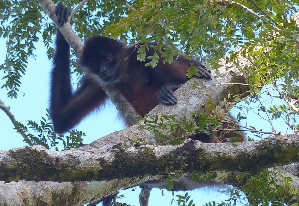 Spider monkey keeping watch