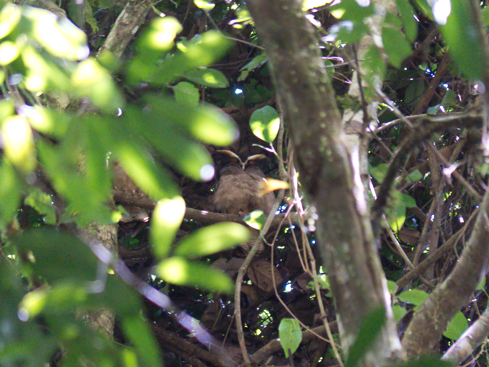 Well-hidden crested owl