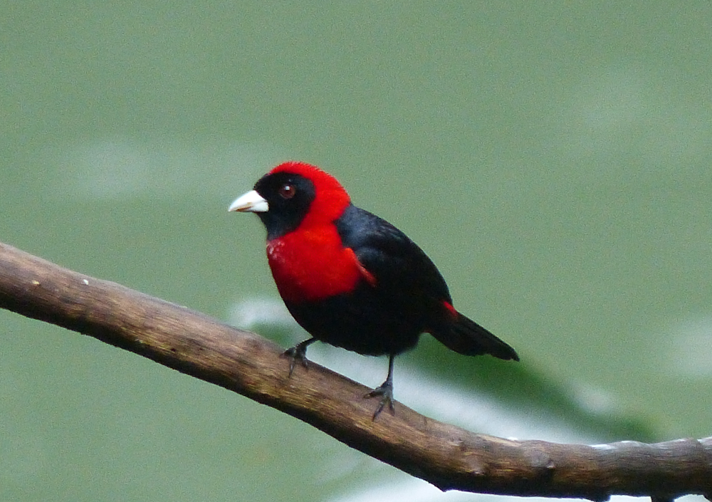 Scarlet collared tanager
