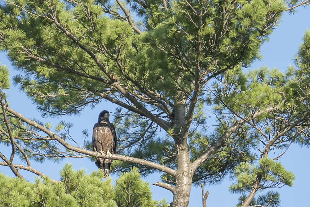 Here's the eaglet sitting on the pine tree on the island