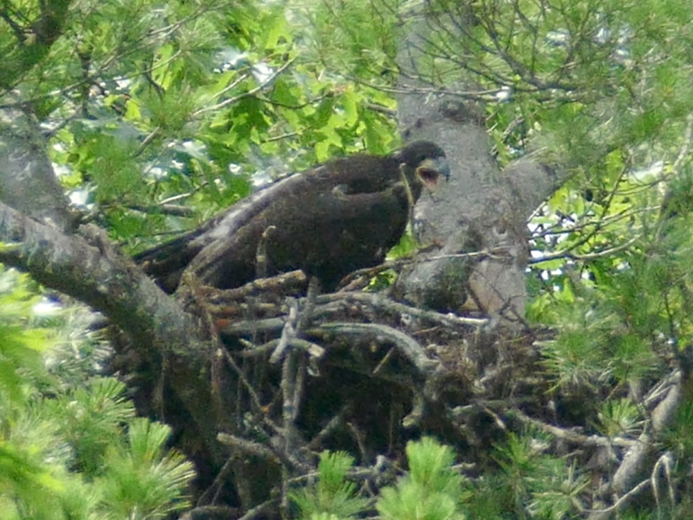 Calling for dinner: This eaglet was born in 2015