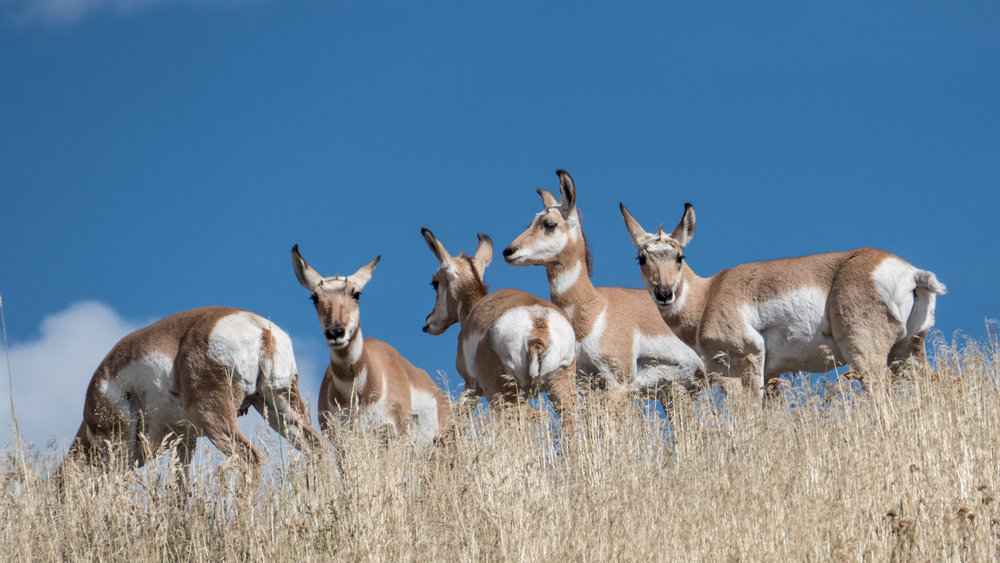 Pronghorn antelope in Lamar Valley