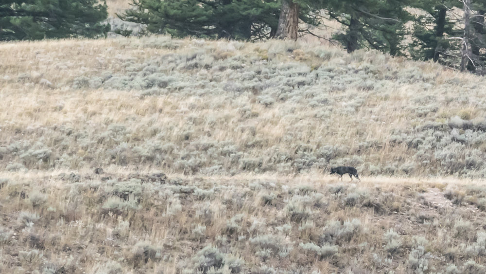 A wolf at a distance in Lamar Valley