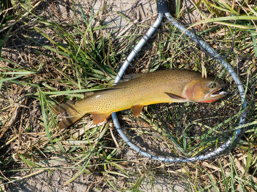Cutthroat trout on a fly