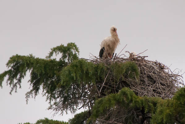 Stork's nest from the ground