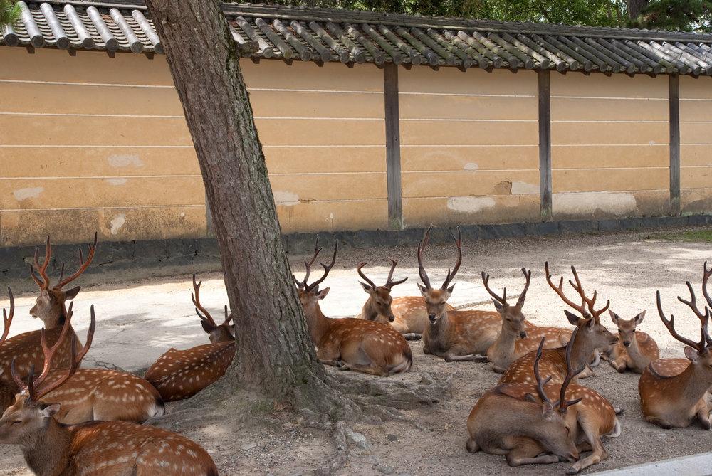 The famous Nara deer