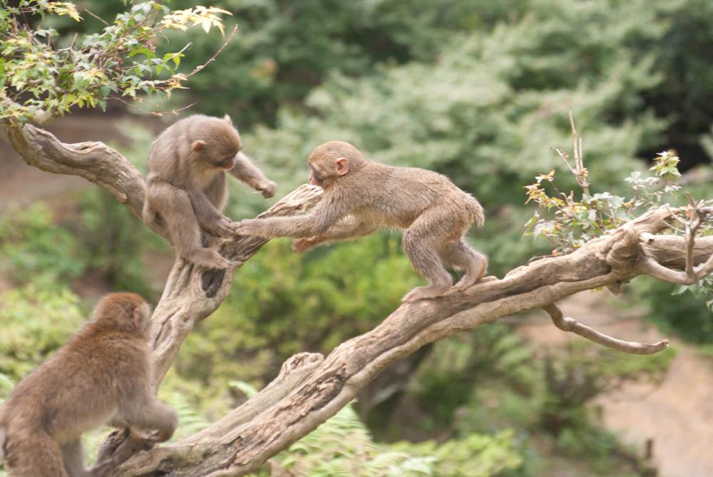 Iwatayama Monkey Park at Mt. Arashiyama