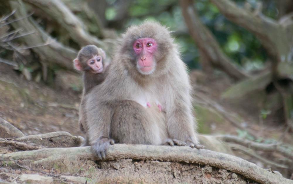Mother and child in Iwatayama Monkey Park