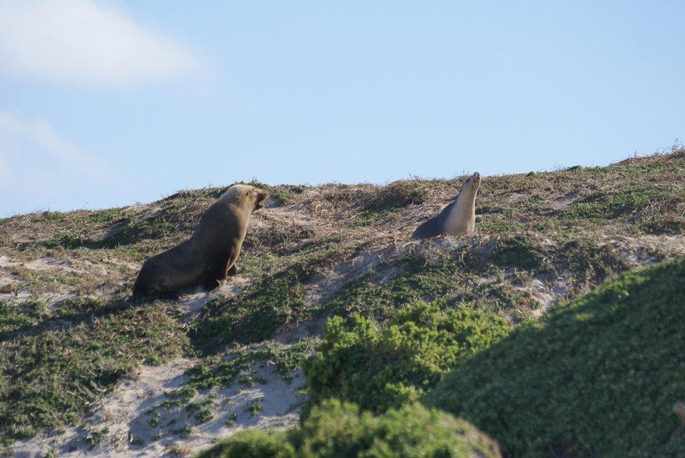 Sea lions at Seal Bay