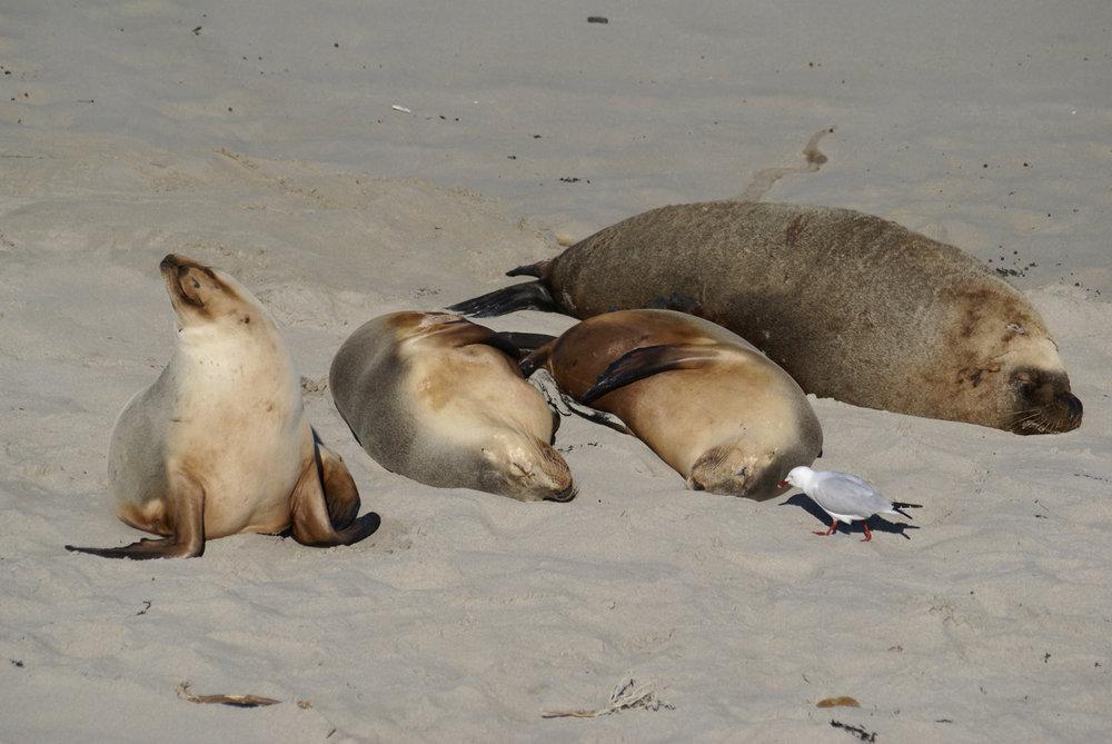 Naptime at Seal Bay