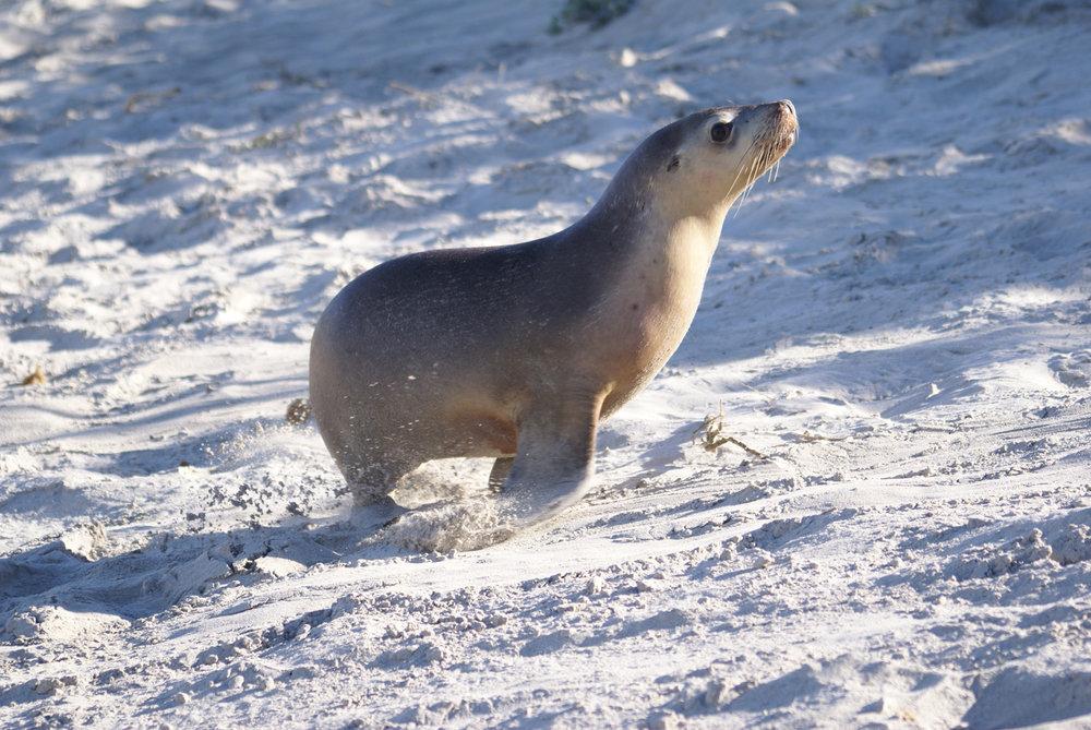 Sea lion at Seal Bay