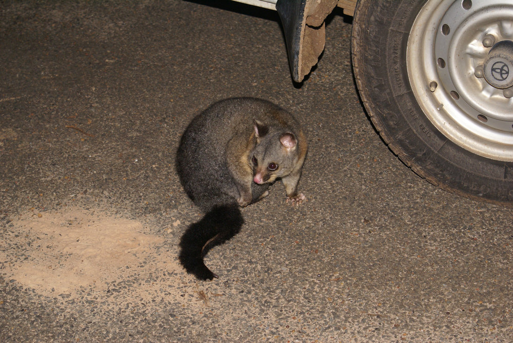 Nighttime visitor to the campground