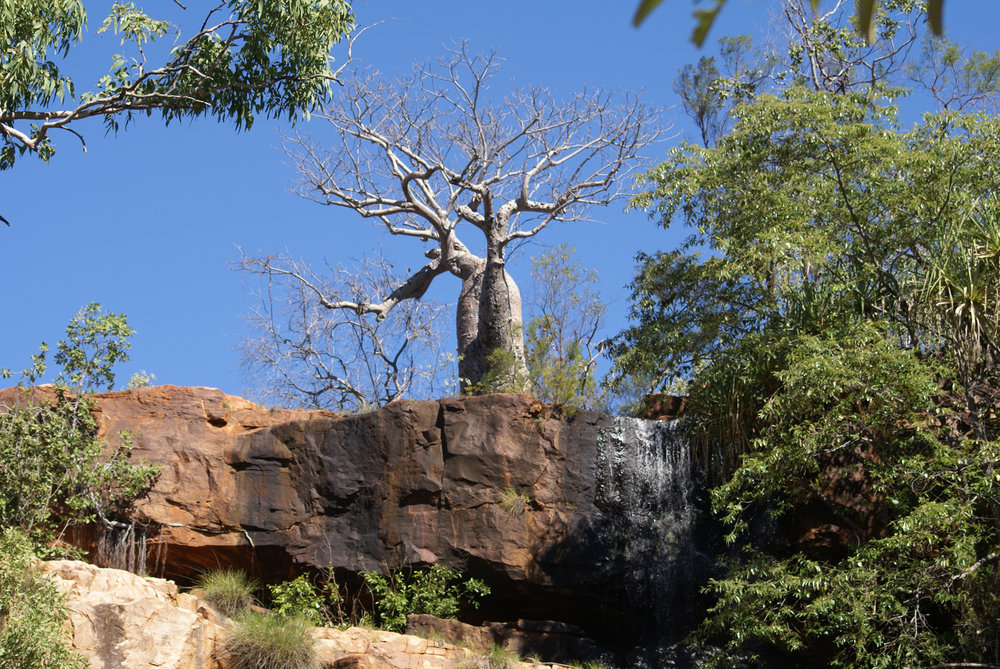 Boab tree keeping guard over the gorge