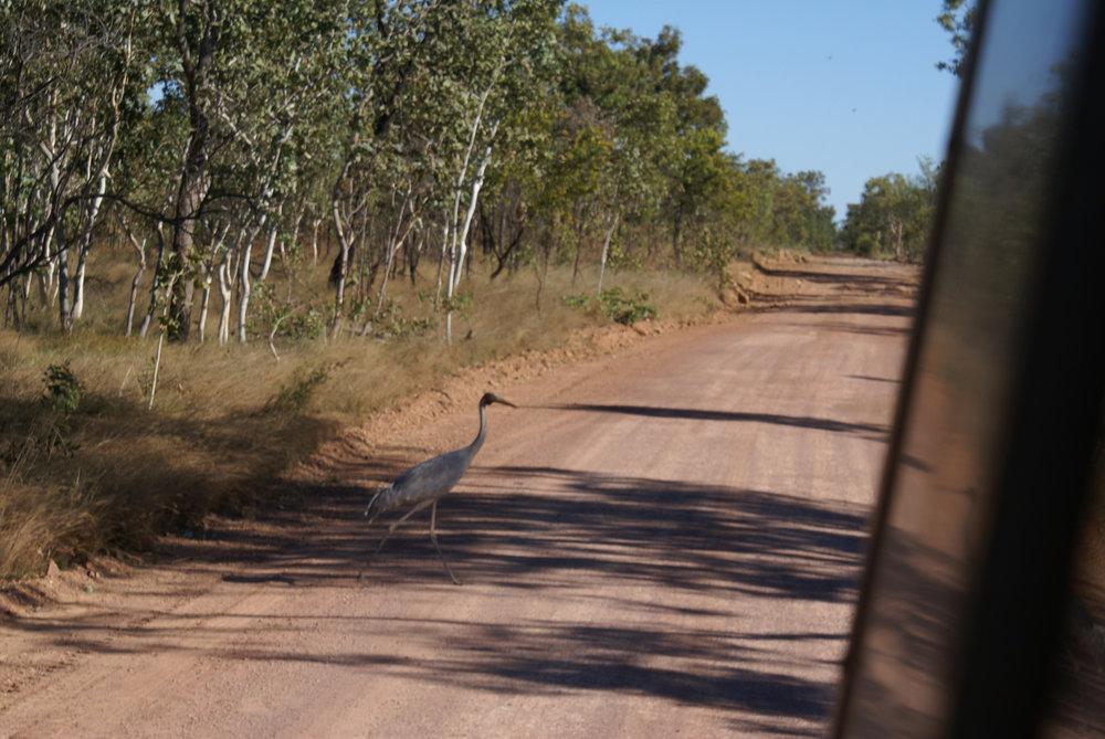 Brolga crossing