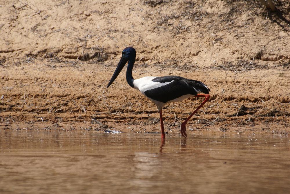 Jabiru on the Drysdale River