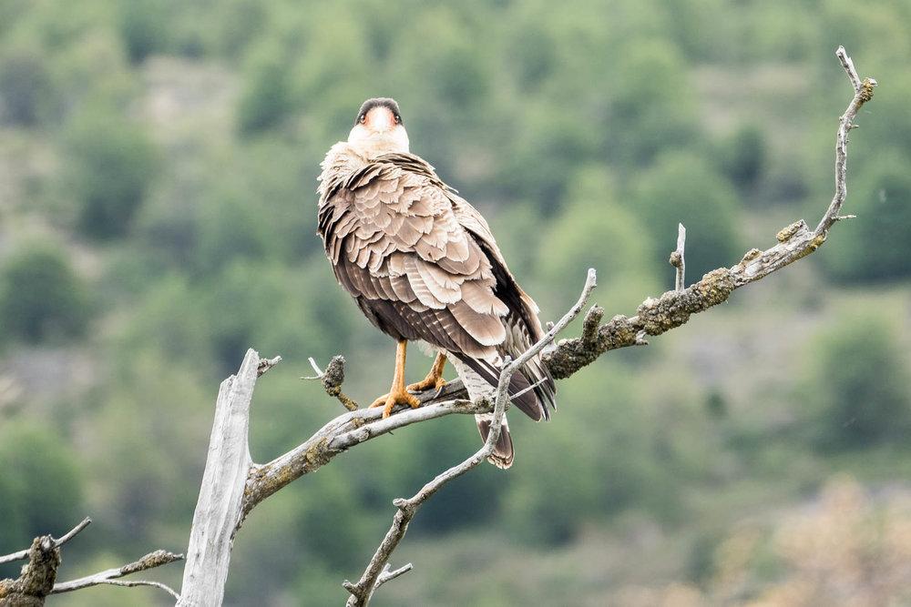 Caracara eagle