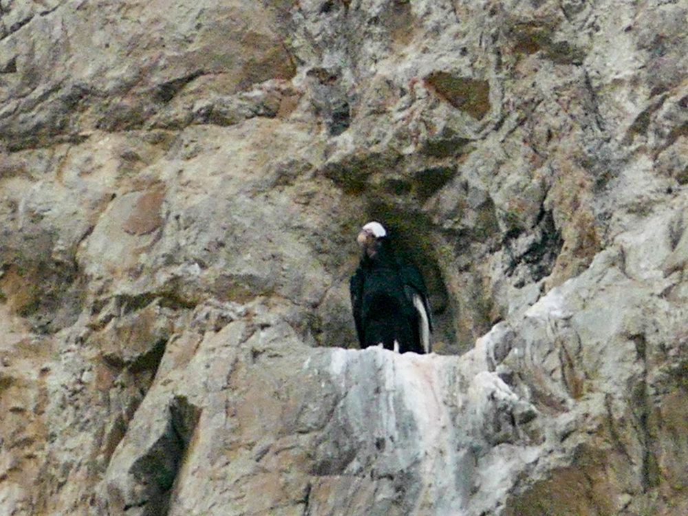 Condor on the nest on the hike to Laguna Capri in El Chalten