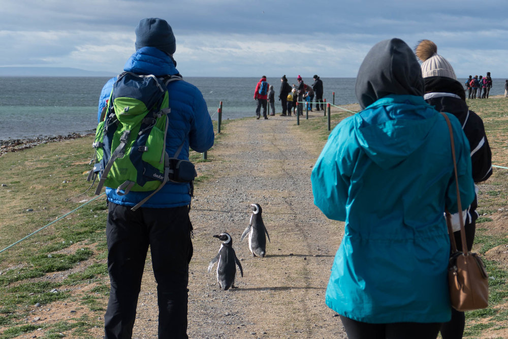 Visitors have to stay within the ropes, while penguins roam freely
