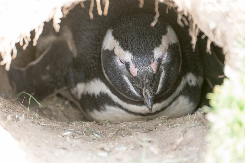 Penguin incubating an egg