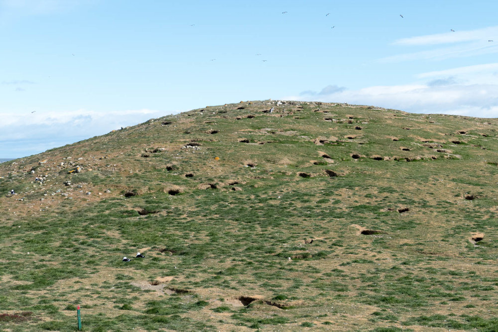 A hillside of burrows