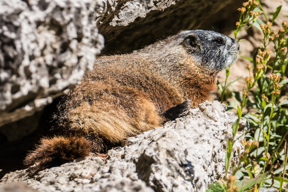 Fearless and friendly marmot