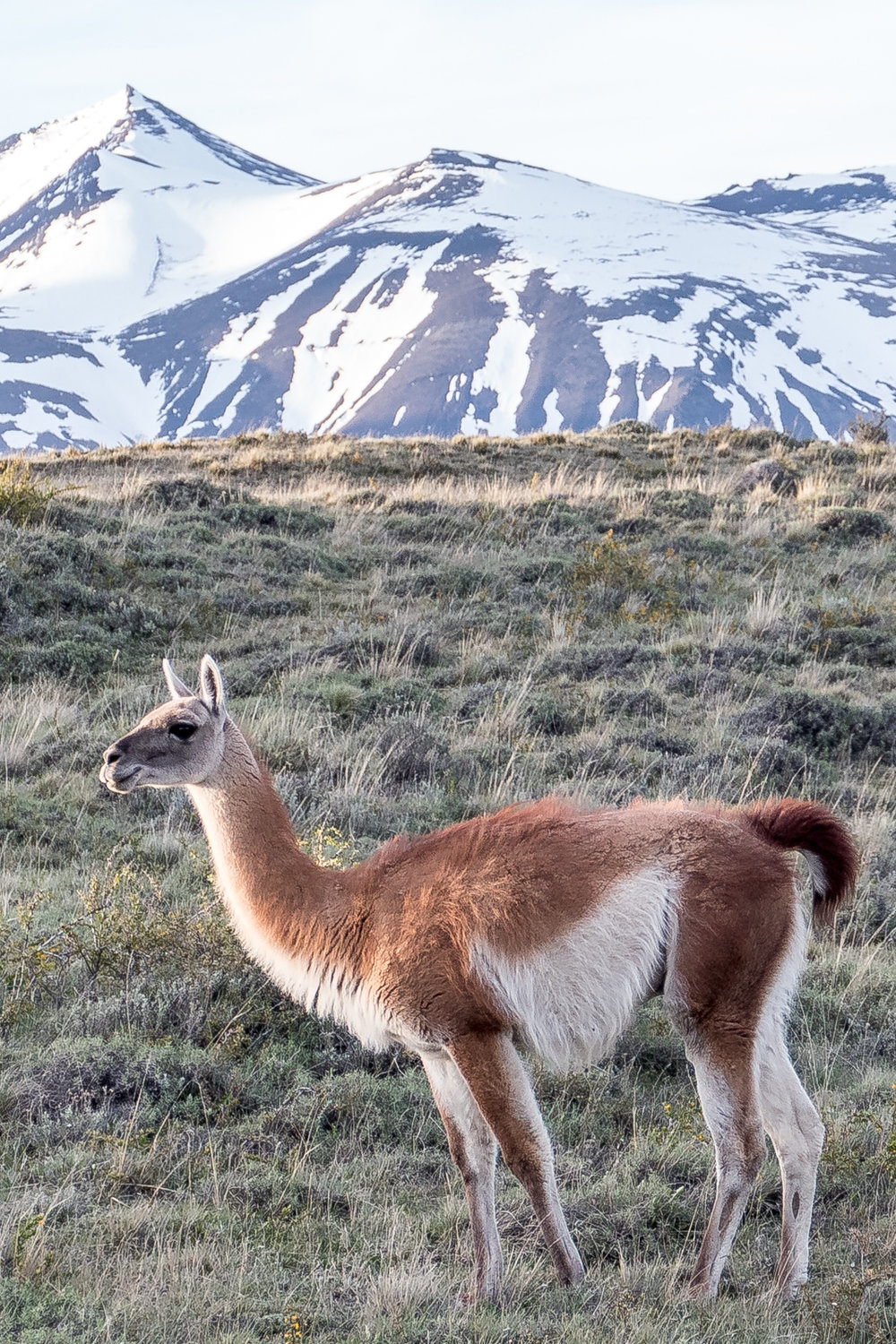 Guanaco against the mountains at sunset