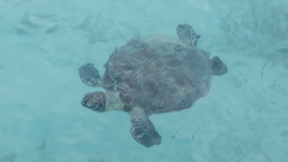 Sea turtle as seen from the pier