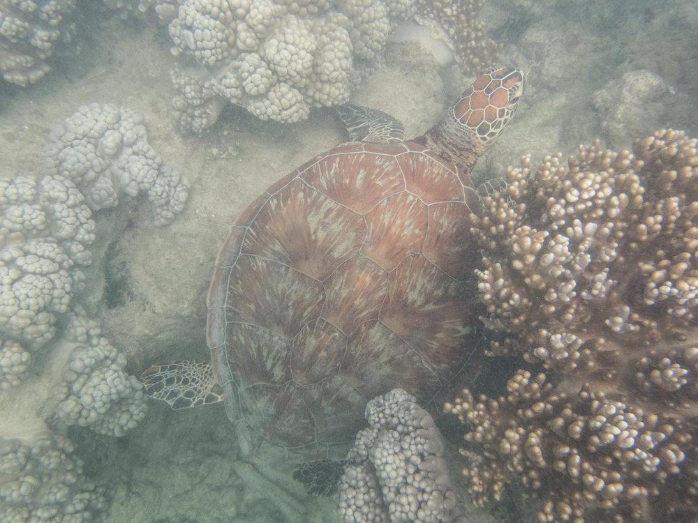 Green sea turtle spotted while snorkeling