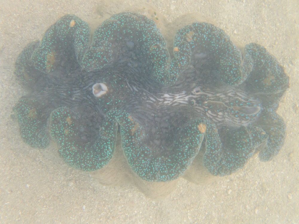 Giant clam with its jaws open. Normally they close as soon as they detect a shadow over it.