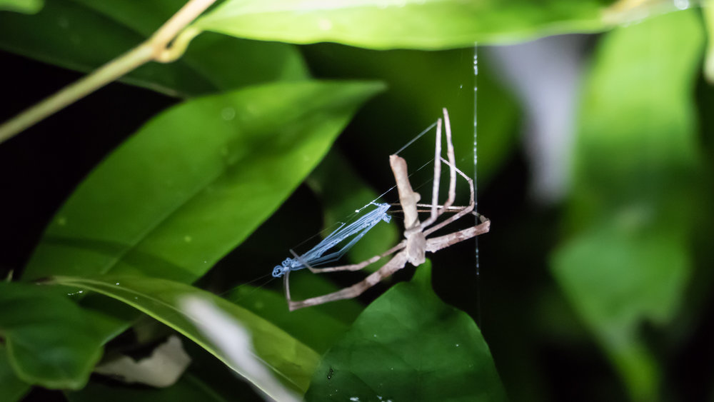 Net casting spider - instead of putting up a web and waiting for prey to get caught in it, this spider has a web (in light blue) that it drops over the prey to ensnare it.