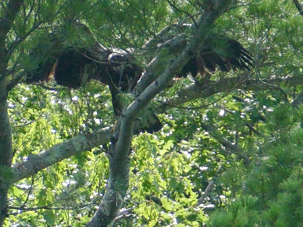 Eaglet wingersizing above the nest before fledging