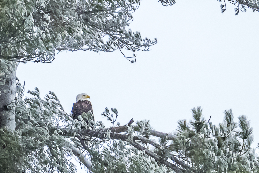 Eagle braving the bitter winter cold