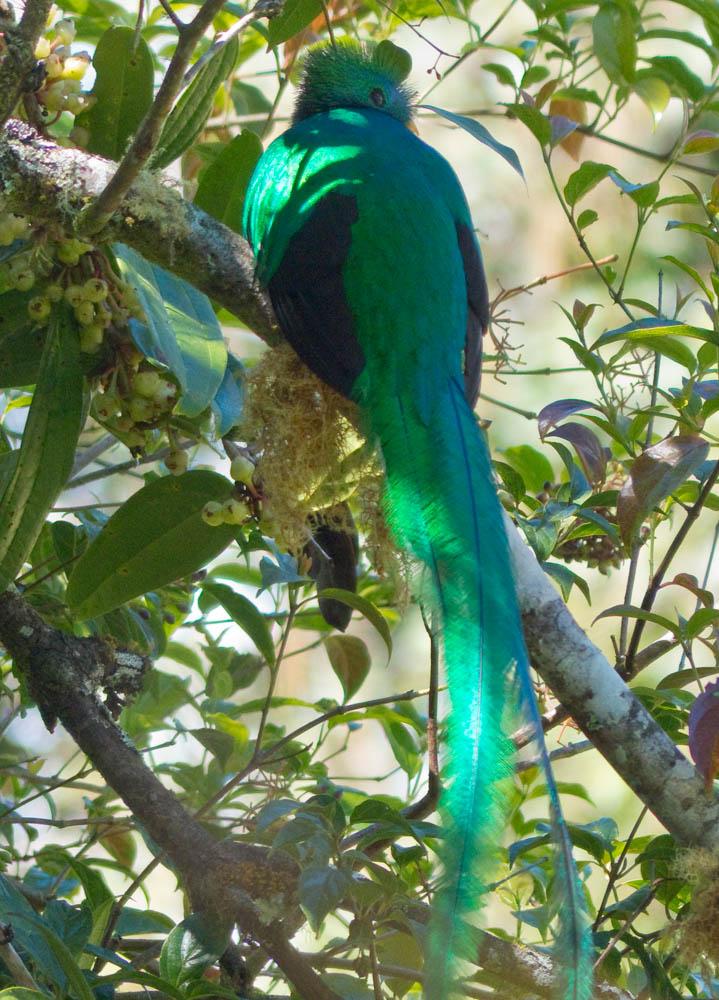 The elusive resplendent quetzal in the wild