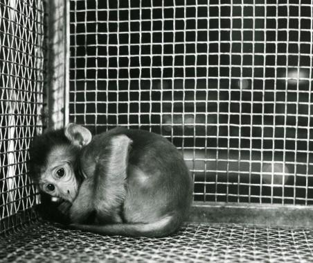 This is a striking example of how a primate with no one to talk to, and no way to talk, cowers away from everything.