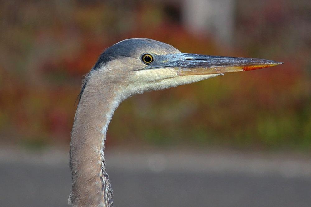 Great Blue Heron.jpg