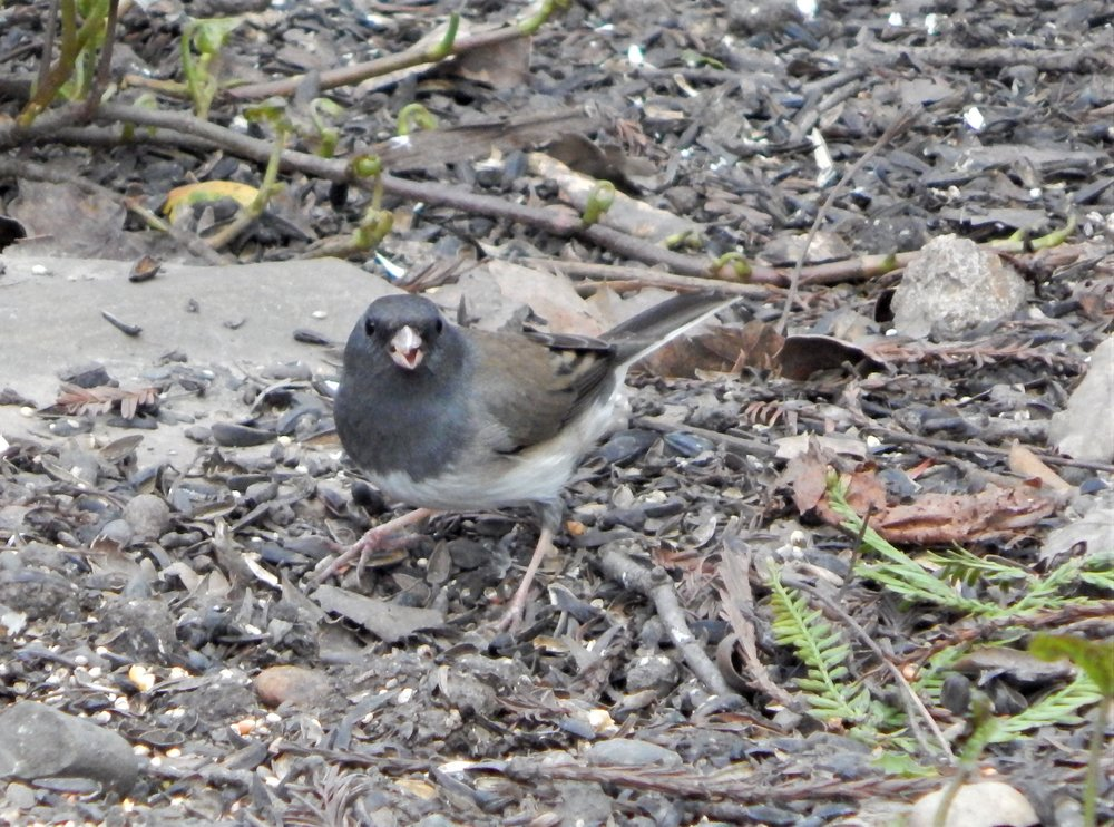 Dark-eyed Junco (Cassiar) (Junco hyemalis cismontanus)