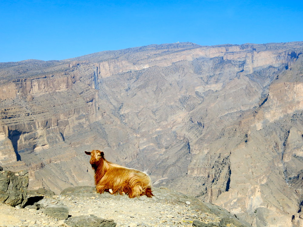 Red goat taking a nap on the edge of the Oman Grand Canyon
