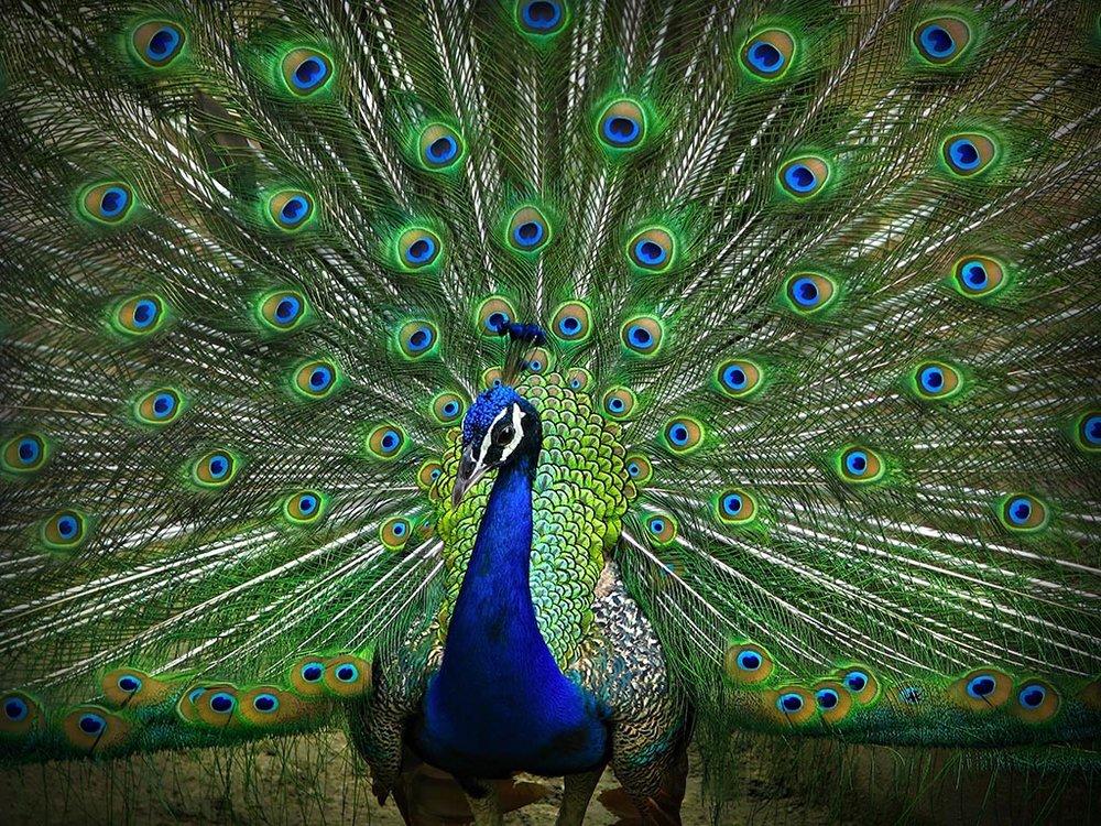 exotic-peacock.jpg