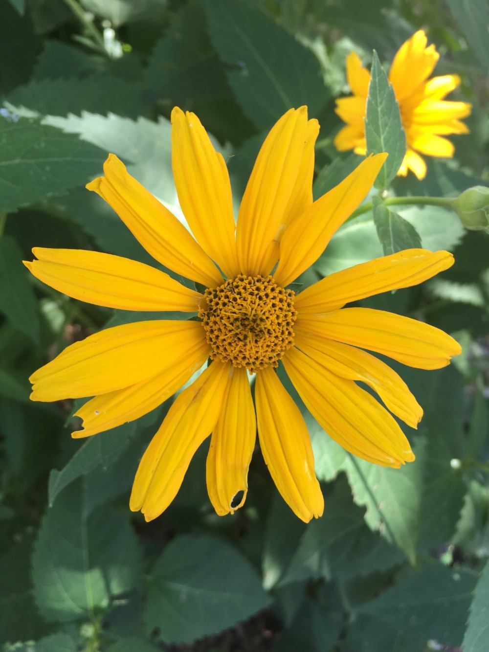 Woodland sunflower.jpg
