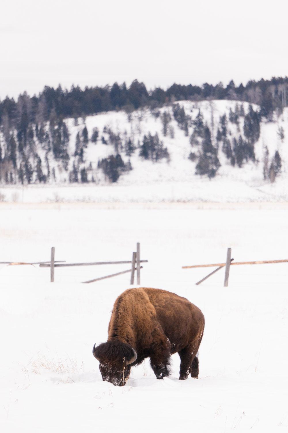 Bison Grand Teton National Park Christine Madeux Photography