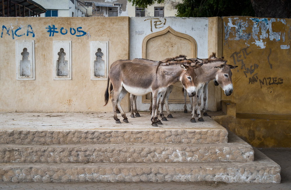 Donkeys are still the primary mode of transport through the narrow streets of Lamu, Kenya