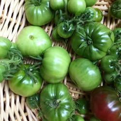 Basket of unripe tomatoes