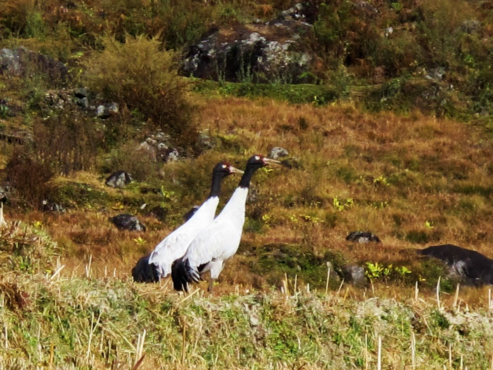 IN SEARCH OF THE BLACK-NECKED CRANES - 8 DAYS / 7 NIGHTS