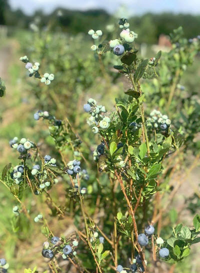 U-PIck Organic Blueberry Farm - Blue Bayou Farms - Yalaha Bootlegging Co.