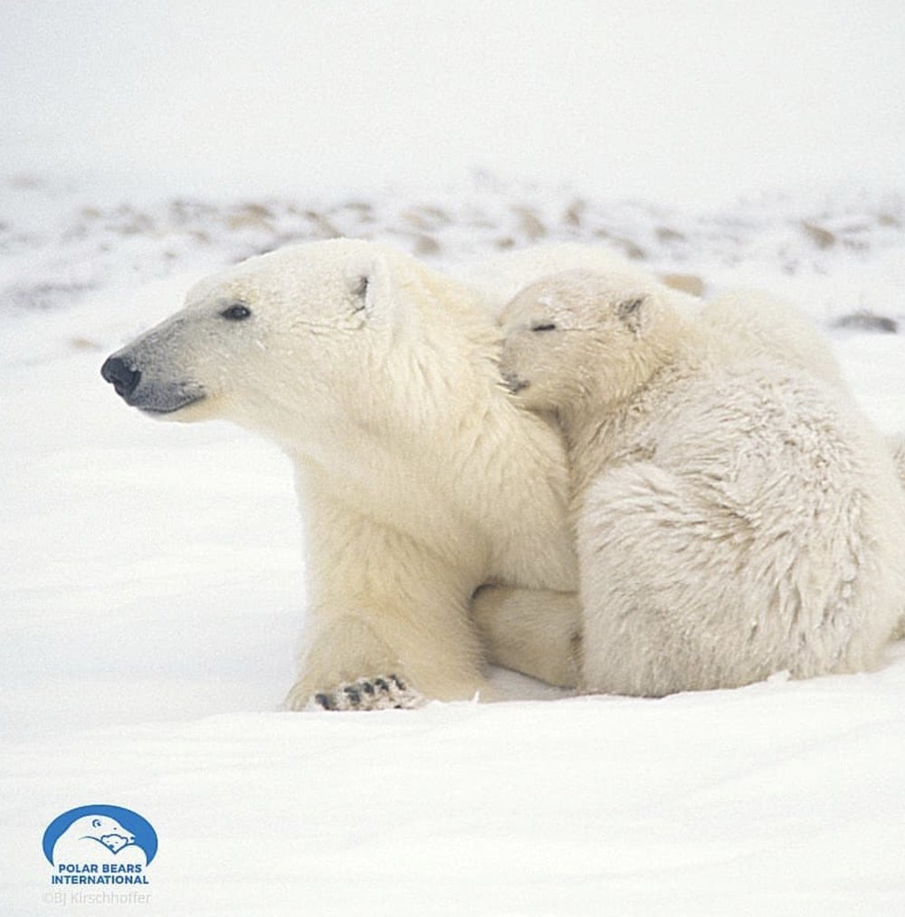 Mama polar bear and her cub (photo by    @polarbearsinternational   )