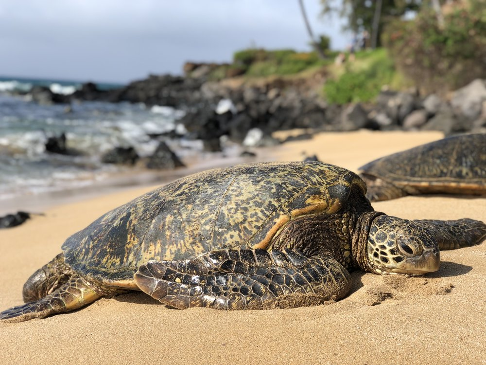 Green sea turtle (honu) on a beach in Ka'anapali (photo by:  @thelotuspage )
