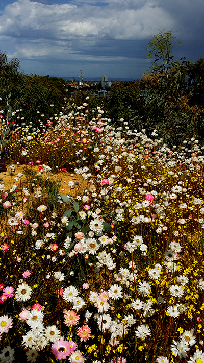 Wildflowers, Kings Park, Western Australia Photo: AJS September 2018
