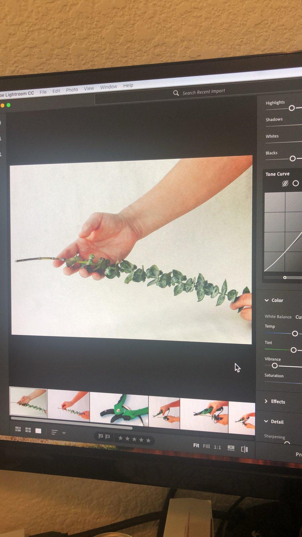 fresh eucalyptus branches photo session