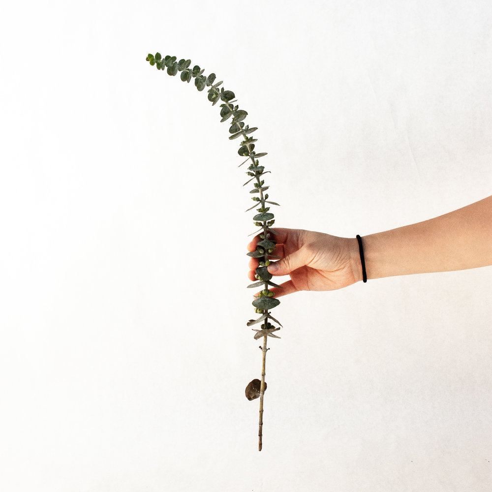 fresh eucalyptus branches larolf natural cut easy flowers shop online